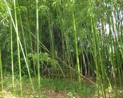 Bambous Landes Diffusion - Bénesse-Maremne - Galerie documentaire