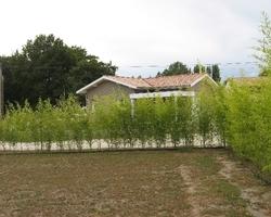 Bambous Landes Diffusion - Bénesse-Maremne - Evolution de la haie de bambou