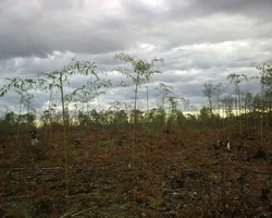 Bambous Landes Diffusion - Bénesse-Maremne - Plantation forestière