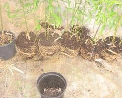 Bambous Landes Diffusion - Bénesse-Maremne - Produits de pépinière en containers